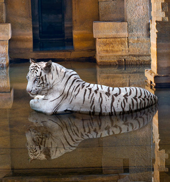 white tiger in flooded temple